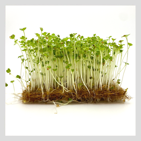 UrbanSproutz Rocket Microgreens Seeds. Best Microgreens Seeds in Singapore. Fully Organic & Non-GMO. High germination rate - grow healthy Microgreens now! Healthy & Sustainable Living
