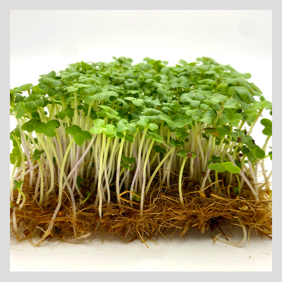 UrbanSproutz Indian Mustard Microgreens Seeds. Best Microgreens Seeds in Singapore. Fully Organic & Non-GMO. High germination rate & grow healthy Microgreens now! Healthy & Sustainable Living