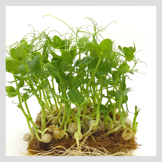 UrbanSproutz Sweet Pea Microgreens Seeds. Best Microgreens Seeds in Singapore. Fully Organic & Non-GMO. High germination rate - grow healthy Microgreens now! Healthy & Sustainable Living