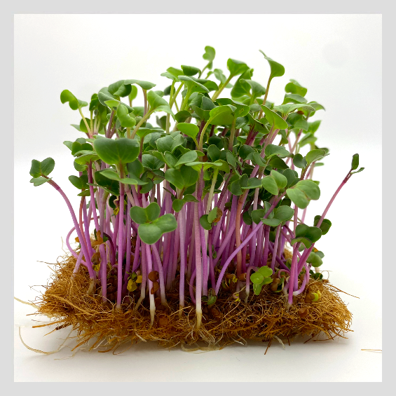 UrbanSproutz Triton Radish Microgreens Seeds. Best Microgreens Seeds in Singapore. Fully Organic & Non-GMO. High germination rate - grow healthy Microgreens now! Healthy & Sustainable Living
