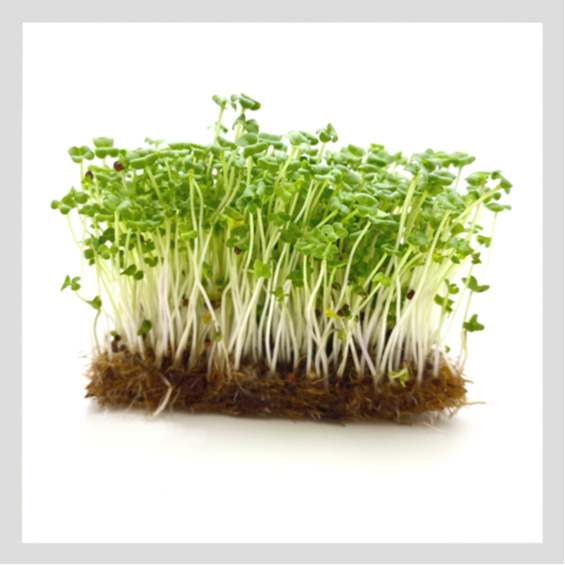 UrbanSproutz Wasabi Microgreens Seeds. Best Microgreens Seeds in Singapore. Fully Organic & Non-GMO. High germination rate - grow healthy Microgreens now! Healthy & Sustainable Living