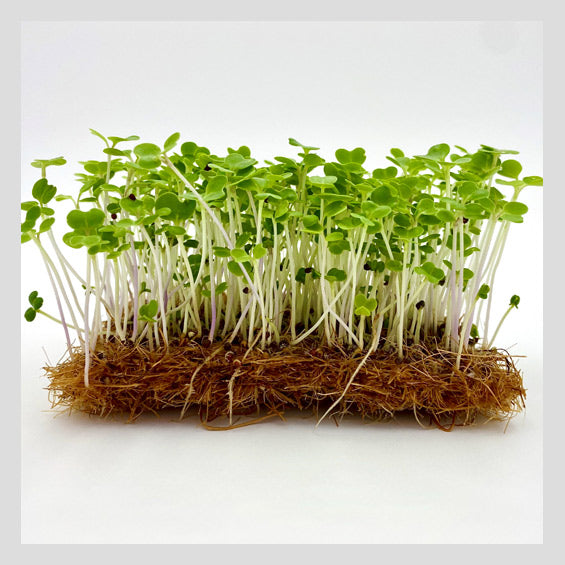 UrbanSproutz Pak Choy Microgreens Seeds. Best Microgreens Seeds in Singapore. Fully Organic & Non-GMO. High germination rate & grow healthy Microgreens now! Healthy & Sustainable Living