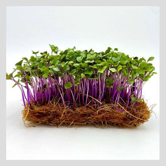 UrbanSproutz Purple Kohlrabi Microgreens Seeds. Best Microgreens Seeds in Singapore. Fully Organic & Non-GMO. High germination rate - grow healthy Microgreens now! Healthy & Sustainable Living