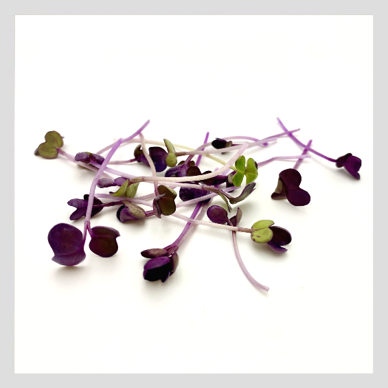 UrbanSproutz Purple Tango Radish Microgreens Seeds. Best Microgreens Seeds in Singapore. Fully Organic & Non-GMO. High germination rate - grow healthy Microgreens now! Healthy & Sustainable Living