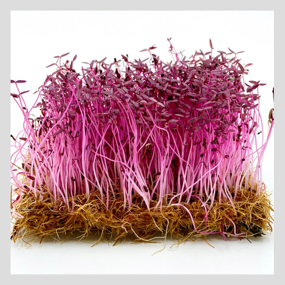 UrbanSproutz Red Amaranth Microgreens Seeds. Best Microgreens Seeds in Singapore. Fully Organic & Non-GMO. High germination rate - grow healthy Microgreens now! Healthy & Sustainable Living