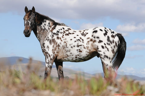 Cheval Appaloosa
