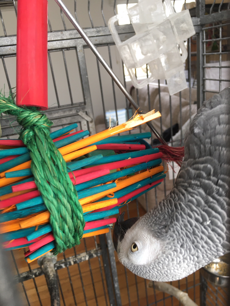african grey parrot investigating the chopsticks toy