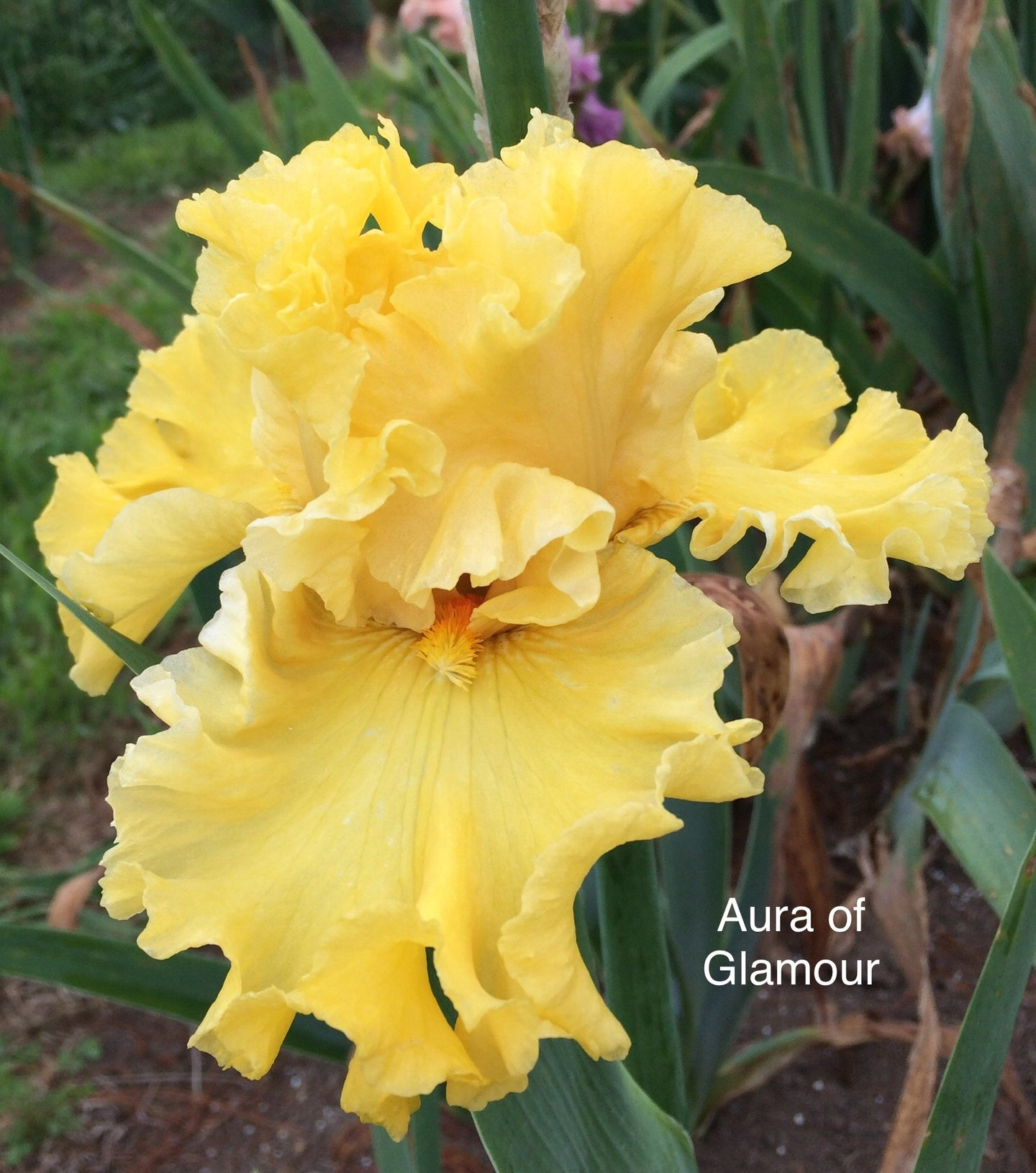 Aura of Glamour (4340458225750)