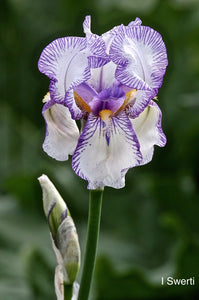Iris Swerti (first collected in 1612) (4340464058454)