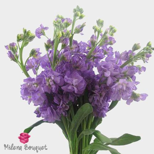 Stock Lavender Flowers - Milena Bouquet