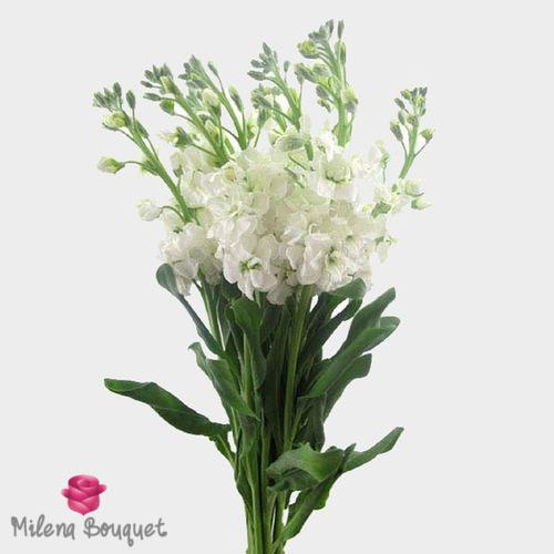 Stock White Flower - Milena Bouquet