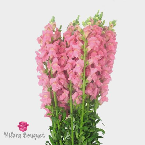 Snapdragon Pink Flowers - Milena Bouquet