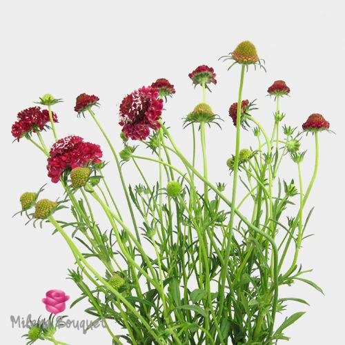 Red Scabiosa Flowers - Milena Bouquet