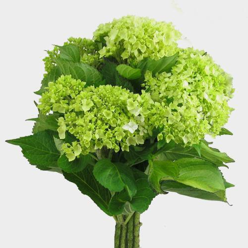 Wholesale Mini Green Hydrangea Flower - Milena Bouquet