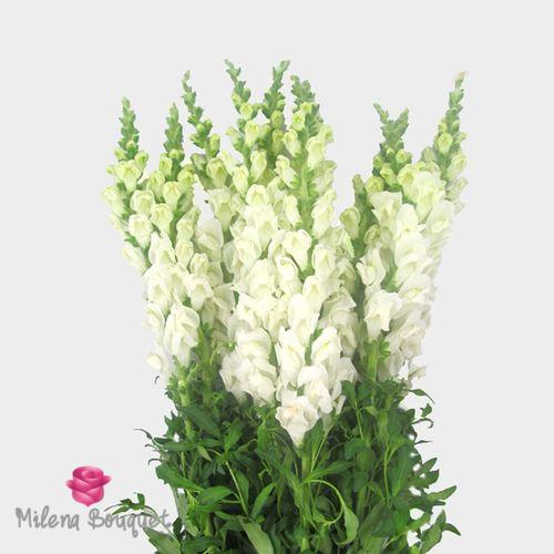 Snapdragon White Flower - Milena Bouquet