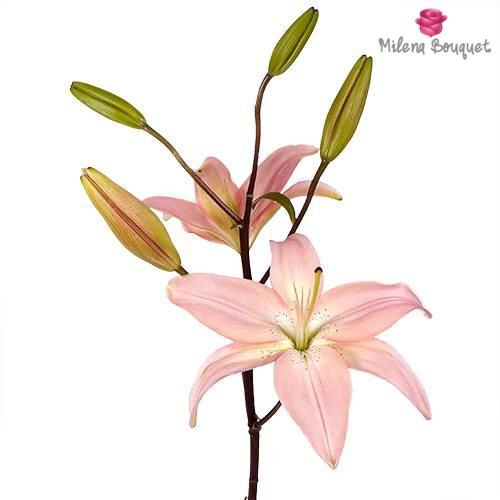 Light Pink Asiatic Lily - 15 Stems - Milena Bouquet