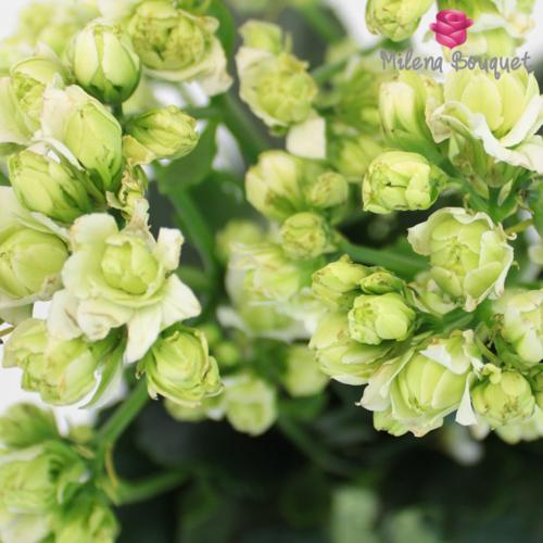 Bulk White Meadow Kalanchoe - Milena Bouquet