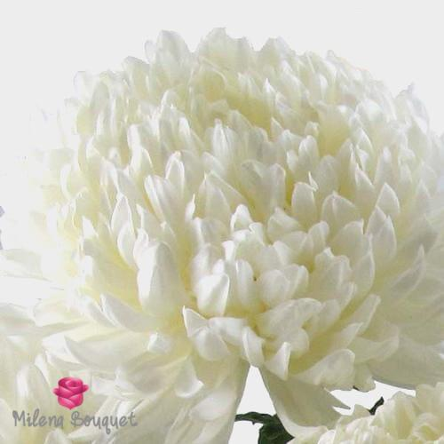 Football Mum White Flower - Milena Bouquet