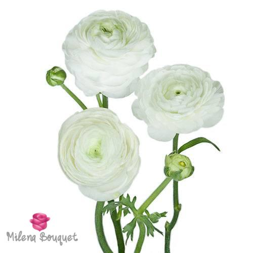 White Ranunculus Fresh Cut Flower - Milena Bouquet