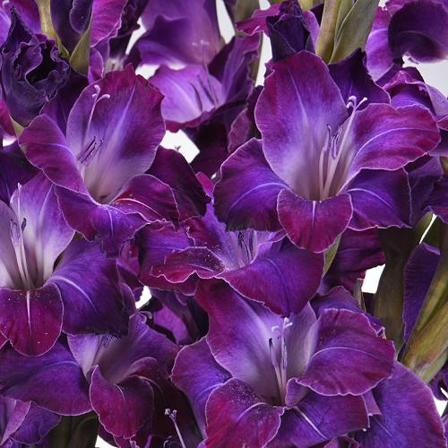 Gladiolus Deep Purple Flower - Milena Bouquet
