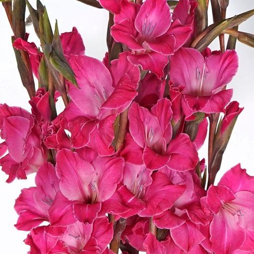 Gladiolus Hot Pink Flower - Milena Bouquet