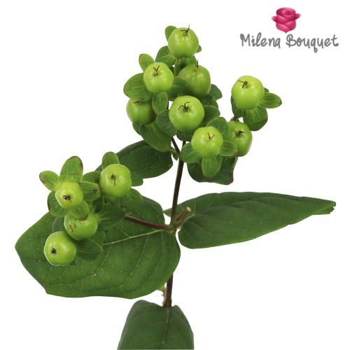 Green Hypericum Berries - Milena Bouquet
