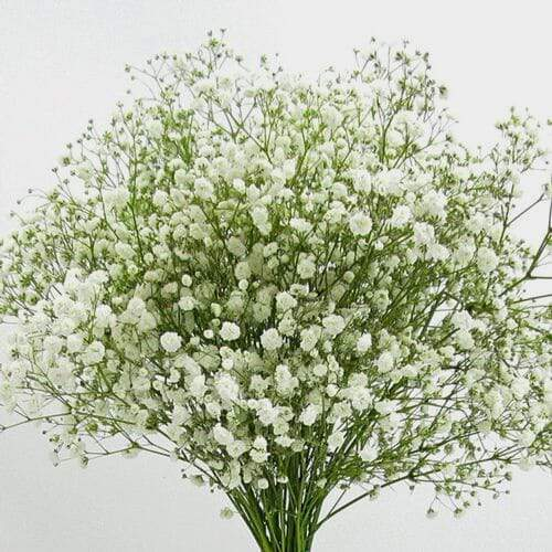Gypsophila Excellence Bulk Pack - Milena Bouquet