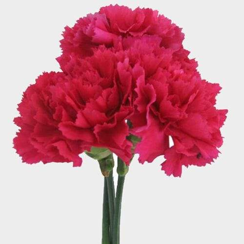 Hot Pink Carnation Flowers - Fancy - Milena Bouquet