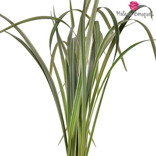 Variegated Lily Grass Greenery - Milena Bouquet