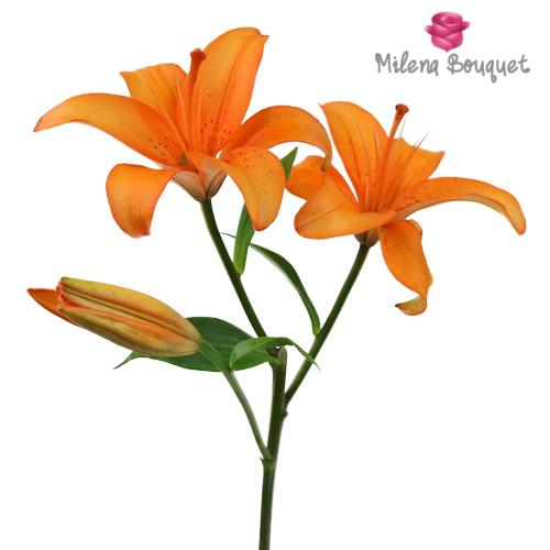 Orange Asiatic Lily - 15 Stems - Milena Bouquet
