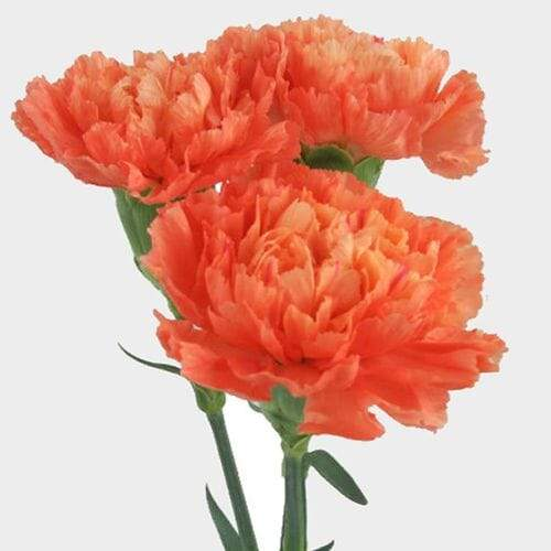 Orange Carnation Flower - Fancy - Milena Bouquet