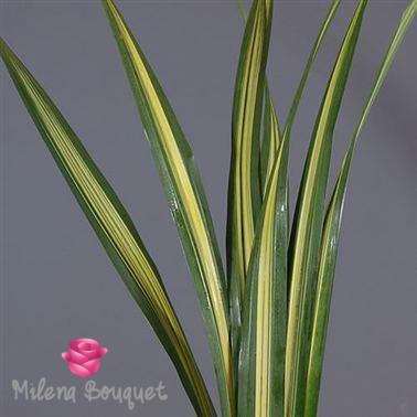 Pandanus Leaves - Milena Bouquet