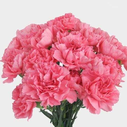 Pink Carnation Flowers - Fancy - Milena Bouquet