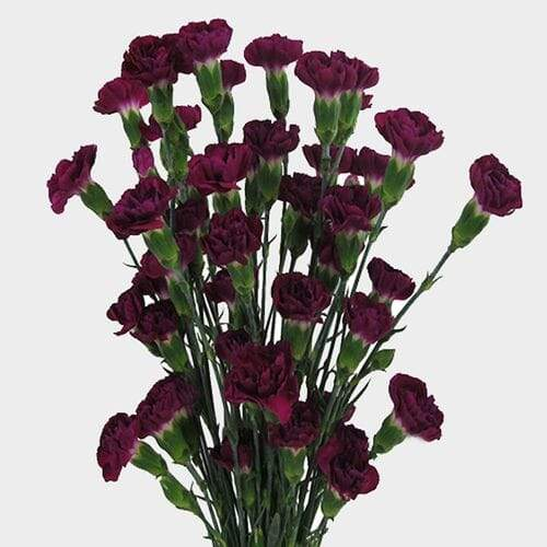 Purple Mini Carnation Flowers - Milena Bouquet