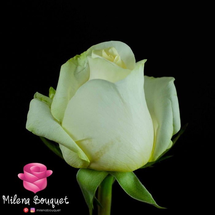 50 Farm Fresh Roses delivered to your door | Premium Ecuadorian Roses - Milena Bouquet