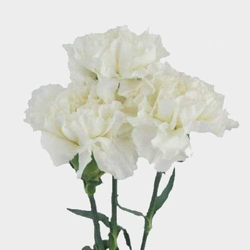 White Fancy Carnation Flowers - Milena Bouquet