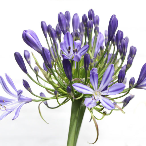 Agapanthus Blue Flowers by the bunch - Milena Bouquet