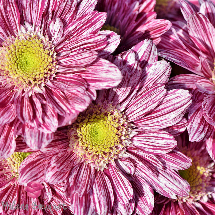 Aster Pink Flowers - 30 Stems - Milena Bouquet