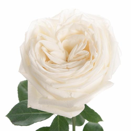 True White Garden Rose - Milena Bouquet
