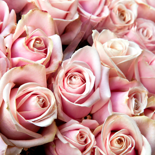 Wholesale Bulk Fresh Cut Roses 200 Long Stems | Premium Ecuadorian Roses - Milena Bouquet