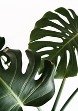 Load image into Gallery viewer, Monstera Print - Addy & Lou