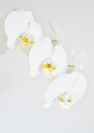 Phalenopsis Orchid Print - Addy & Lou