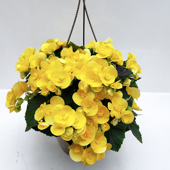 Begonia basket yellow