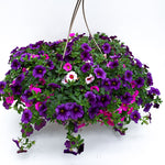 Load image into Gallery viewer, calibrachoa basket berry daring