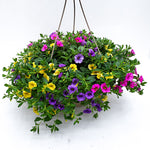 Load image into Gallery viewer, calibrachoa basket lollipop