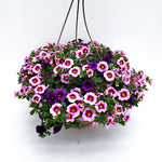 Load image into Gallery viewer, calibrachoa basket sweet candy