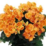 Load image into Gallery viewer, Begonia orange