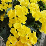 Load image into Gallery viewer, Begonia yellow