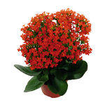 "Load image into Gallery viewer, 4.5"" Kalanchoe"