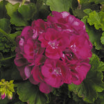 "Load image into Gallery viewer, 4"" Geranium"